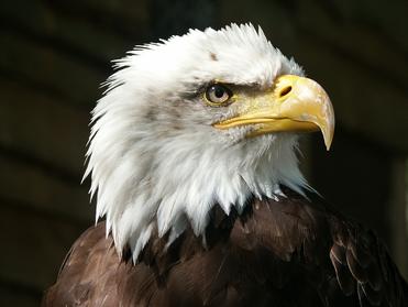 Motiv: Adler